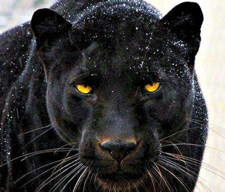 Pantera Animal Wallpaper - black panther cats animals background wallpapers on