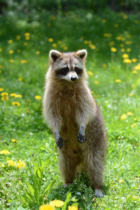 squirrels and raccoons in yards