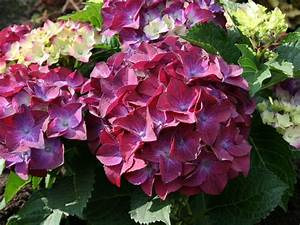 Hydrangea Macrophylla Winterhart : ballhortensie 39 hot red purple 39 hydrangea macrophylla ~ Michelbontemps.com Haus und Dekorationen