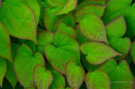 CMDPHOTOS   Leaf Design
