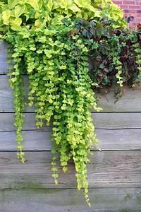Winterharte Pflanzen Für Balkonkästen : pfennigkraut lysimachia pflege und sorten ~ Orissabook.com Haus und Dekorationen