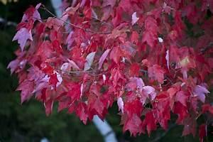 Baum Mit Roten Blättern : kostenlose bild r tliche bl tter rote blatt baum herbst laub herbst bl tter b ume ~ Eleganceandgraceweddings.com Haus und Dekorationen