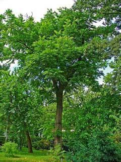 juglans cinerea butternut white walnut butternut pfaf