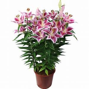 Fleur De Lys Plante : la fontaine fleurie lys d 39 int rieur en pot ~ Melissatoandfro.com Idées de Décoration