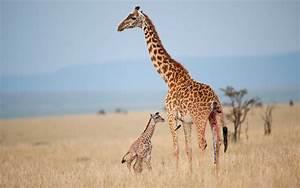 The Giraffe Could Soon Be Considered an Endangered Species ...  Giraffe