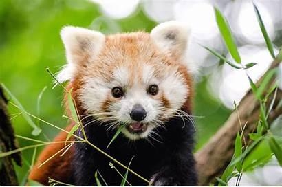 Pandas Animals Pixnio Source