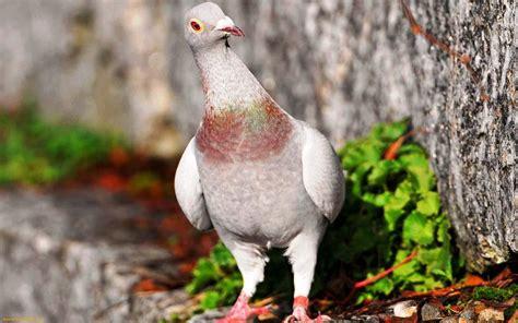 pigeons full hd wallpapers aksharing