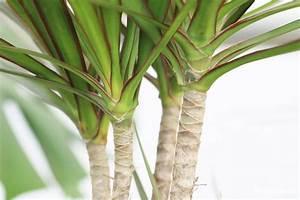Drachenbaum Schneiden Video : drachenbaum dracaena marginata pflege und schneiden ~ Watch28wear.com Haus und Dekorationen