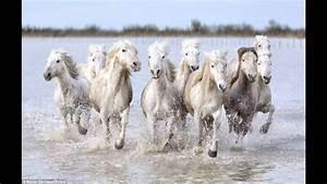 The real-life unicorns: Magical shots of wild white horses ...