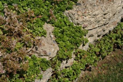 kinds  stonecrop sedum lovetoknow