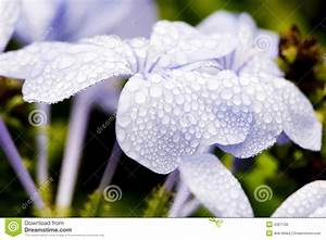Drops Of Water On Purple Flowers Royalty Free Stock Image ...