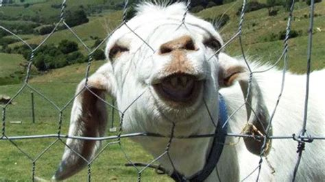 funny goats compilation funny goats screaming hd epic