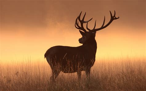 wallpaper deer silhouette hd animals