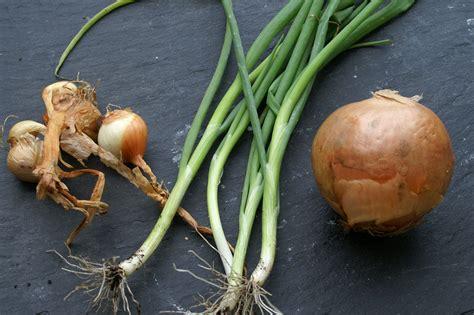 what are shallots onions shallots scallions good eats pinterest