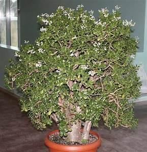 Chinesischer Geldbaum Kaufen : ber ideen zu geldbaum auf pinterest ~ Michelbontemps.com Haus und Dekorationen