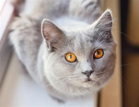 cats oil tea tree flea safe treatment oils essential cat dangerous effective toxic treating reaching healthcare applications cleaning far many