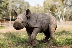 Australian zoo celebrates birth of second black rhino baby ...
