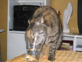 stupid cat stupid but thirsty cat jokes memes pictures