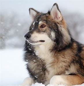 Utonagan dog face photo and wallpaper. Beautiful Utonagan ...