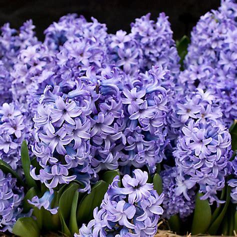 hyacinth delft blue mix bulbs terrain