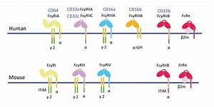 Fc Receptor Family Proteins