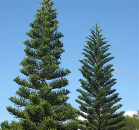 norfolk island pine 301 moved permanently