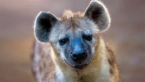 spotted hyena san diego zoo kids