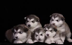 Animals Dogs Alaskan Malamute Puppies Animals Dogs Alaskan