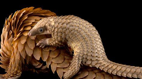 trade ban  protect pangolins   save