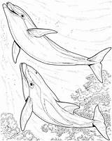 Dolphin Coloring Dolphins Pair Colouring Hard Adults sketch template
