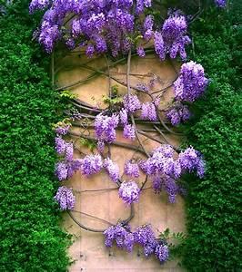 Free Purple Laburnum Stock Photo