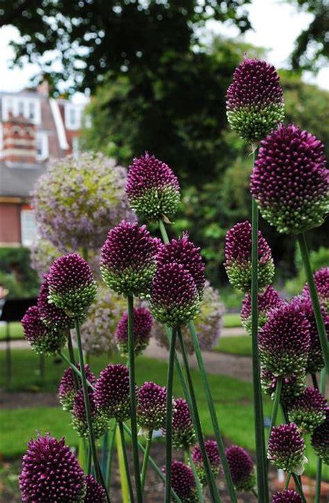 Pflanzen Für Drinnen by 655 Besten Allium Bilder Auf Blumen Anbauen