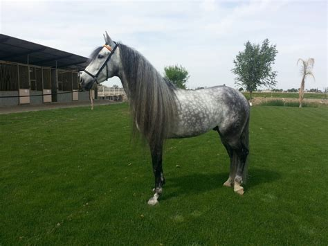 andalusian stallion stud grey pre stallions california
