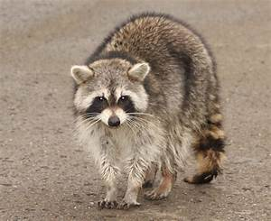 Animal Free Wallpapers: Animal Raccoon Free Wallpapers
