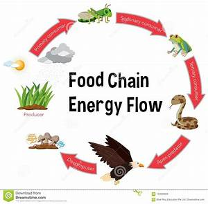 Food Chain Energy Flow Diagram Stock Vector