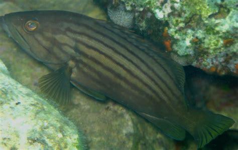 grouper english juveniles names