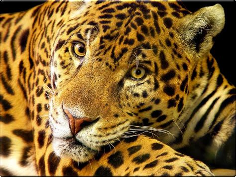 Jaguar Picture by Wallpaper Animal Jaguar