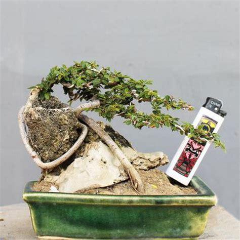 bonsai ulmus micro unik dunia pusaka sakti