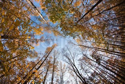 Herbsthimmel Im Birkenwald Mit Weitwinkelobjektiv