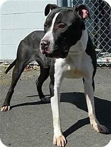 Duke | Adopted Puppy | bridgeport, CT | Great Dane ...
