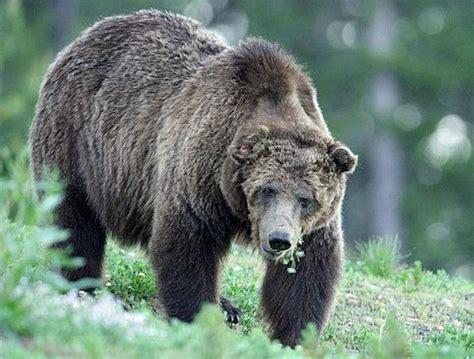 grizzly unseats  kills montana mountain biker boing boing