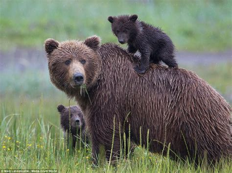 Bear Cubs Look Cute As Their Mother Teaches Them To