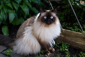 Himalayan Cat Breed | Facts, Highlights & Buying Advice ...