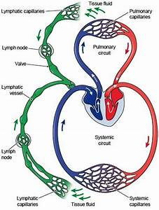 iGotcha! : The Lymphatic System