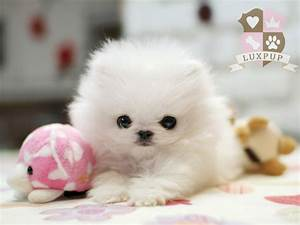 Cute Pomeranian | Bringing the cutest and the tiniest ...