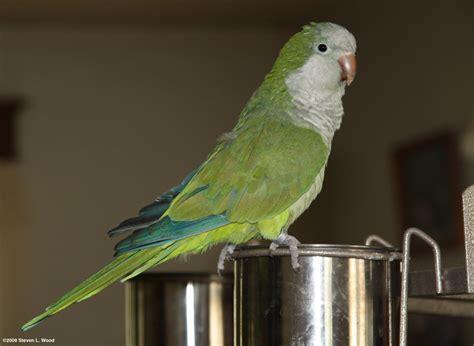 quaker parakeet baby quaker parrot monk parakeet and cage for sale epsom surrey pets4homes
