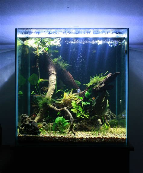 cube aquarium aquascape the 60 gallon cube this is my large planted tank