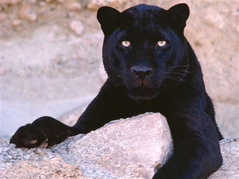 Black Wallpaper Black Panther Wallpaper Free Black