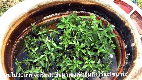 ต้นกล้าผักเหี่ยวเฉา2016 - YouTube