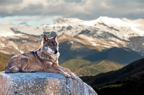 As The Wolf Runs Climate Change Pushes Canid Evolution